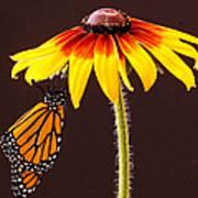 Dangling Monarch Art Print