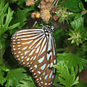 Dark Blue Tiger Butterfly Art Print