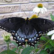 Dark Form Female Tiger Swallowtail Art Print