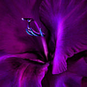 Dark Knight Purple Gladiola Flower Print by Jennie Marie Schell