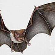 Daubentons Bat Myotis Daubentonii - Murin De Daubenton-murcielago Ribereno-vespertilio Di Daubenton Print by Urft Valley Art