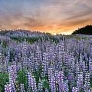 Dawn Of Lupine Art Print