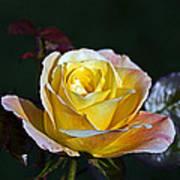 Day Breaker Rose Art Print