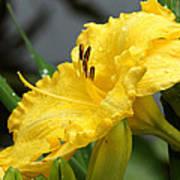 Daylilies Abound Art Print