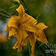Daylily Picture 474 Art Print