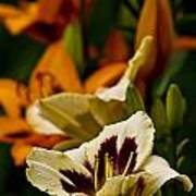 Daylily Picture 487 Art Print