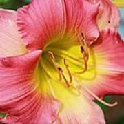 Daylily Art Print by Victoria Sheldon