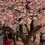 Dc Cherry Blossom Tree Art Print