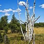 Dead Birch Trees Art Print
