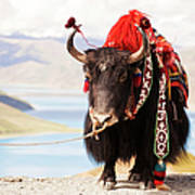 Decorated Yak At Gamta Pass Art Print
