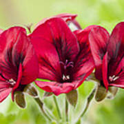 Deep Crimson Pelargonium Art Print
