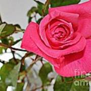 Deep Pink Rose - Summer - Rosebuds Art Print