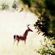 Deer 2 - Buck - White-tailed Art Print