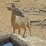 Deer At Waterhole Art Print