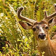 Deer Buck In Velvet Art Print