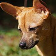 Deer-head Chihuahua Art Print