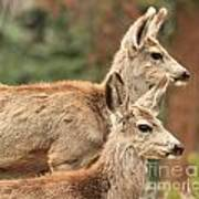 Deer In The Rocky Mountains Art Print