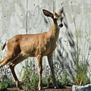 Deer On A Walkabout Art Print