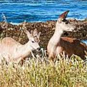Deer On The Beach At Point Lobos Ca Art Print