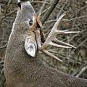 Deer Pictures 444 Art Print