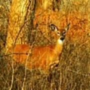 Deer Spotted In A Golden Glowing Field  Art Print