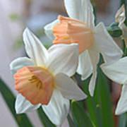 Delicate Daffodils  Art Print