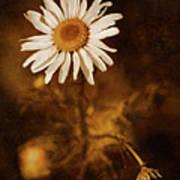 Delicate Daisy Art Print