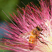 Delicate Embrace - Bee And Mimosa Art Print