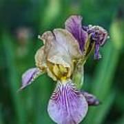Delicate Iris Art Print