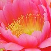 Delicate Pink Cactus Flower Art Print