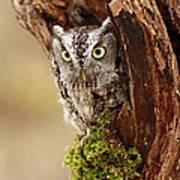 Delighted By The Eastern Screech Owl Print by Inspired Nature Photography Fine Art Photography