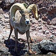 Desert Bighorn Sheep Art Print