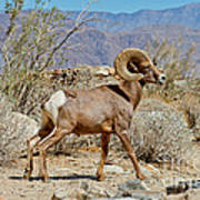 Desert Bighorn Sheep Ram At Borrego Art Print