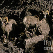 Desert Bighorns Ovis Canadensis Nelsoni Art Print