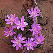 Desert Chicory Rafinesquia Neomexicana Art Print