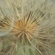 Desert Dandelion 4 Art Print