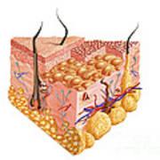 Detailed Cutaway Diagram Of Human Skin Art Print