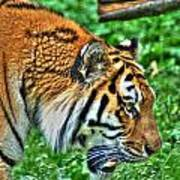 Determination In The Tigers Stare Art Print