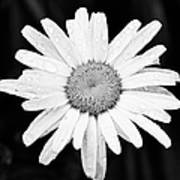 Dew Drop Daisy Art Print