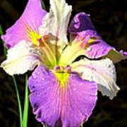 Dew On An Iris Art Print