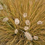Dew On Ornamental Grass No. 3 Art Print
