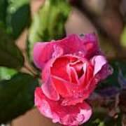 Dew Rose Art Print