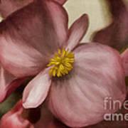 Dewy Pink Painted Begonia Art Print