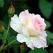 Dewy Rose Art Print