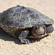 Diamondback Terrapin Turtle Art Print by Diane Rada