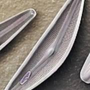 Diatom Frustules (sem) Art Print