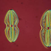 Diatom - Navicula Art Print