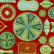 Diatoms-ernst Haeckel Art Print