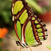 Dido Longwing Butterfly Art Print