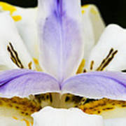 Dietes Grandiflora Close-up Art Print